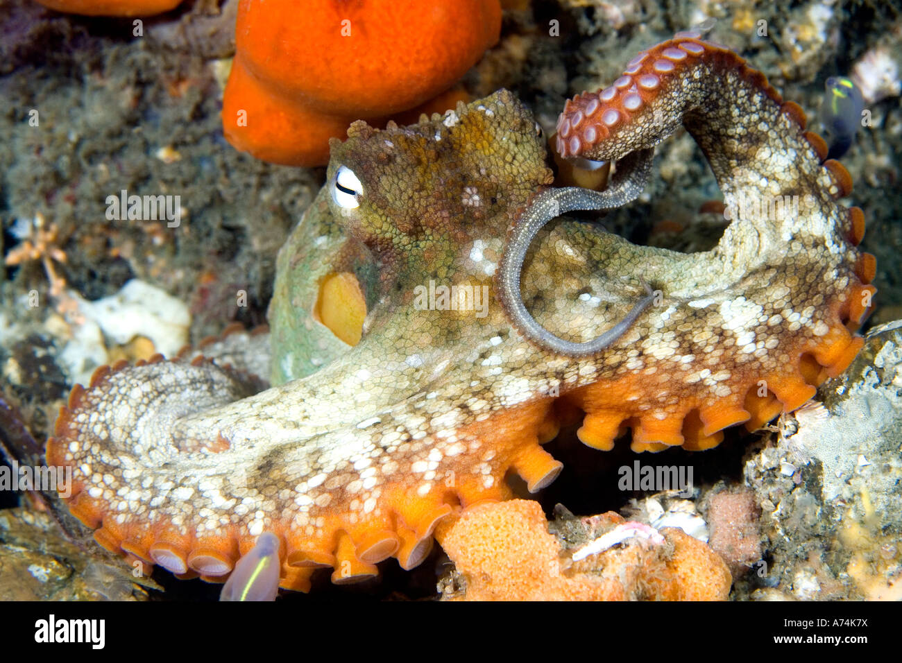 Common Sydney Octopus, Octopus tetricus. Also known as the Gloomy Octopus. Nelson Bay, Port Stephens, NSW, Australia Stock Photo