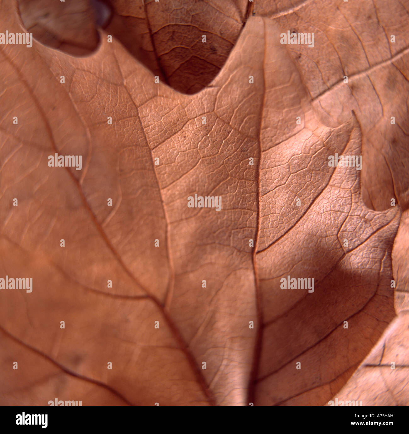 Still-life of brown Autumn leaf Stock Photo