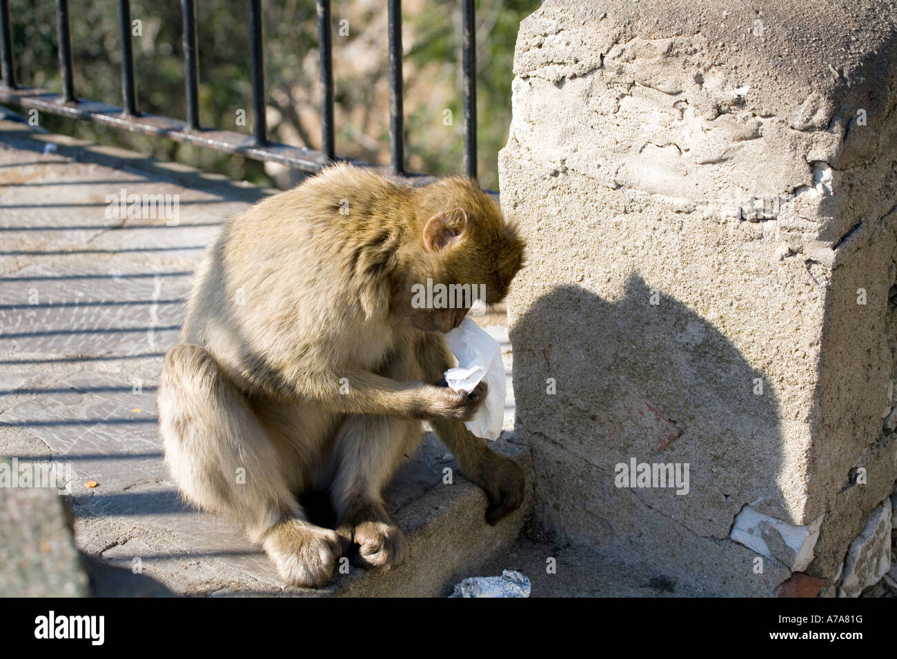 Gibraltar Ape playing with a piece of paper - Stock Image