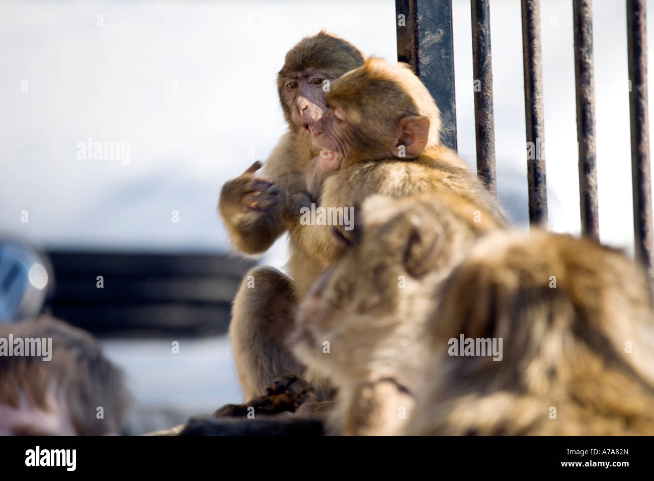 Young Gibraltar Apes play fighting - Stock Image