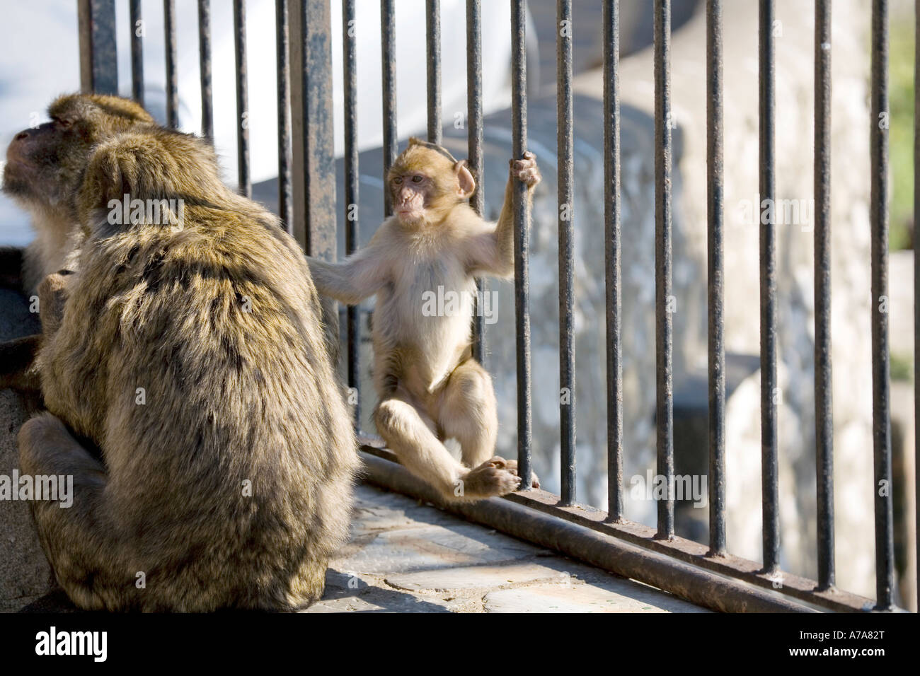 Immature Gibraltar Ape swinging on railings - Stock Image