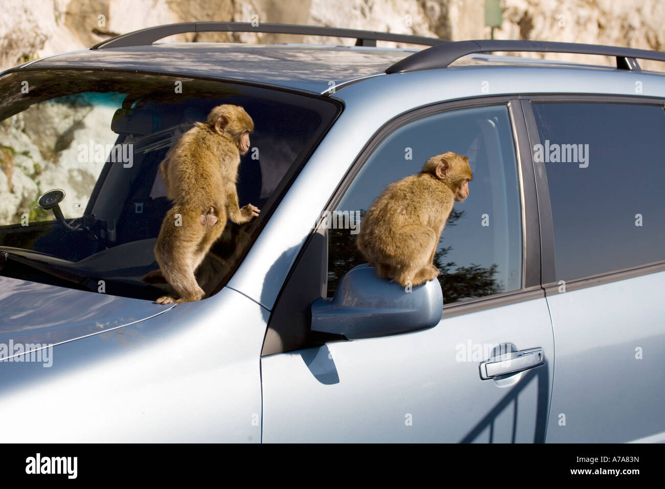 Two  Gibraltar Apes clambering over a car, Gibraltar, Europe - Stock Image