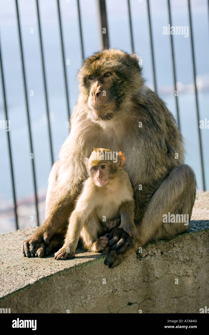 Father and Son - Gibraltar Ape with young sitting together - Stock Image
