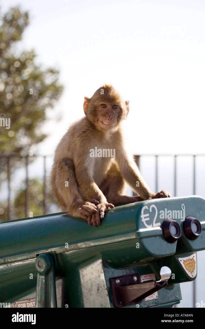 Immature Gibraltar Ape sitting on a coin operated telescope - Stock Image