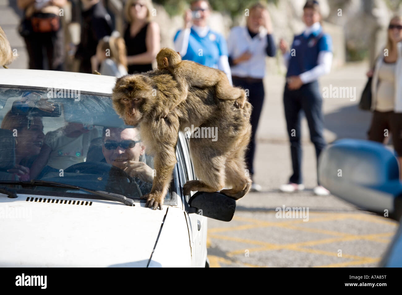 Gibraltar Ape with young sitting on car wing mirror - Stock Image