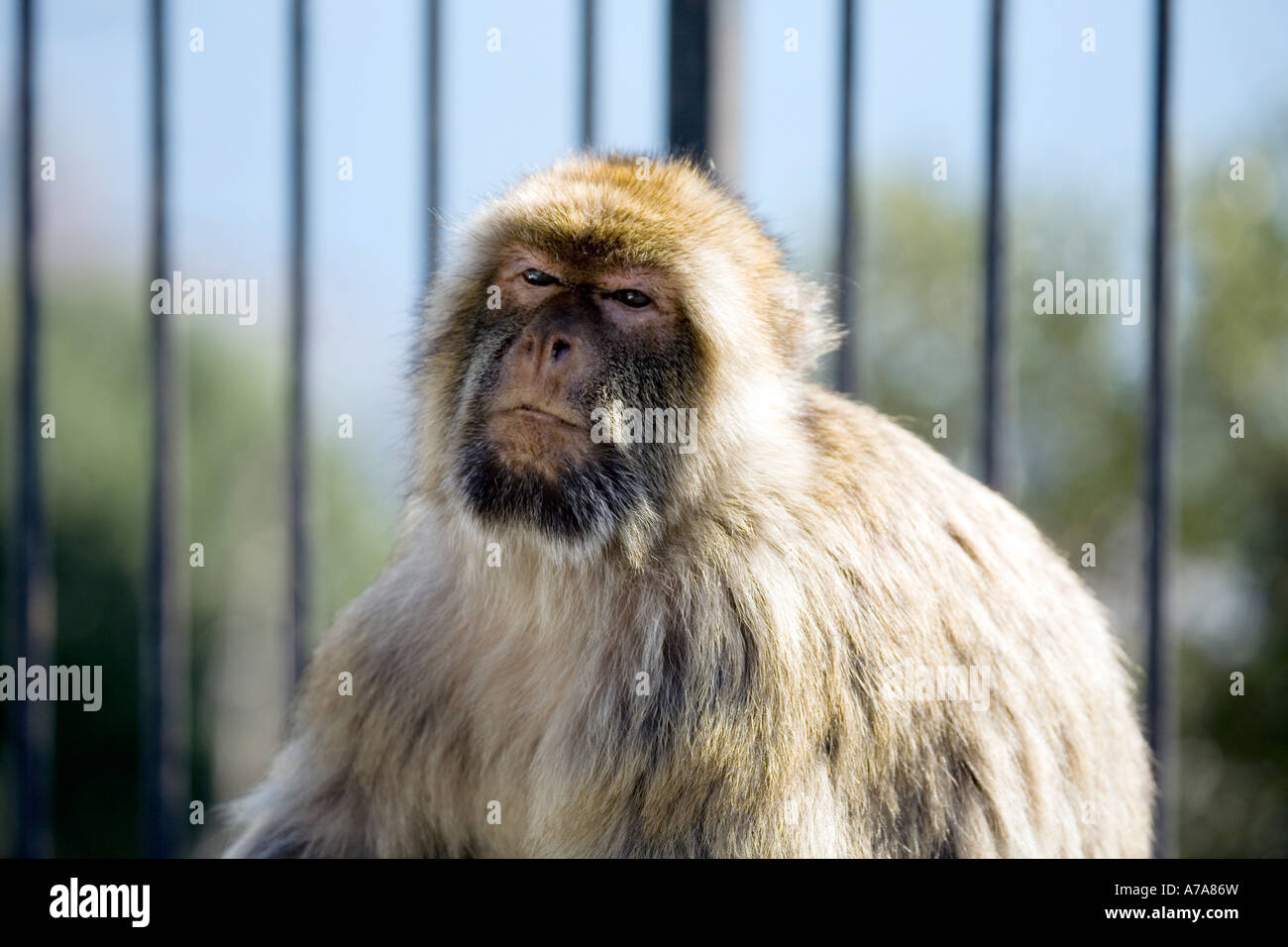 Gibraltar Ape sitting in front of railings - Stock Image