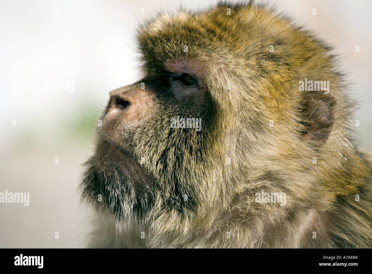 Portrait of Adult Gibraltar Ape - Stock Image