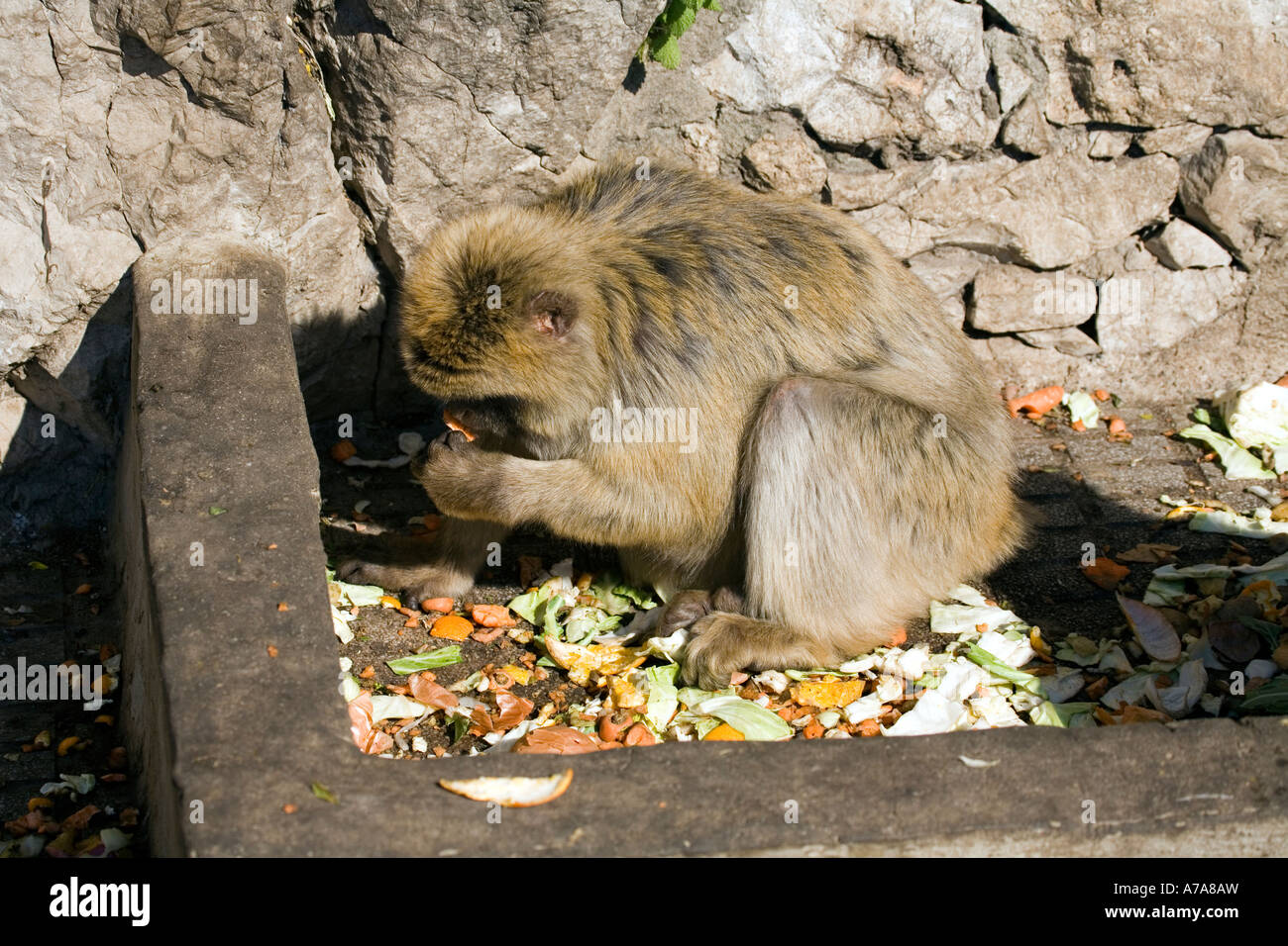 Gibraltar Ape feeding on fruit and vegetable scraps - Stock Image