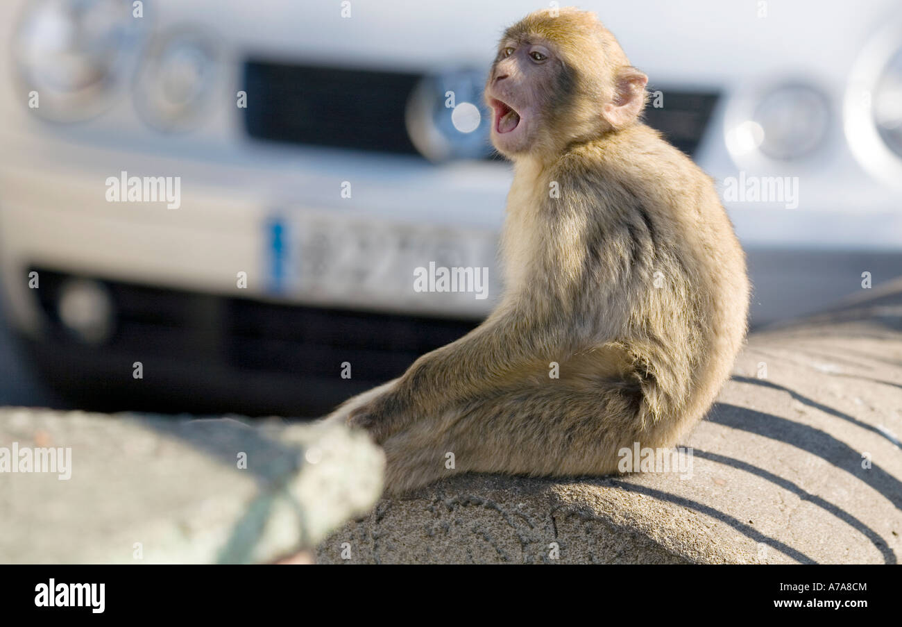 Young Gibraltar Ape sitting on a wall with his mouth open, Gibraltar, Europe - Stock Image