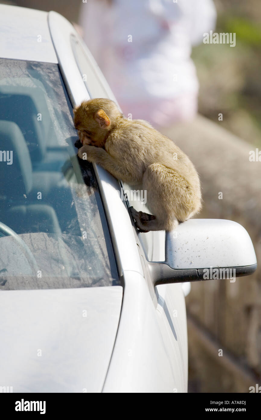 Young Gibraltar Ape sitting on a car wing mirror looking through the windscreen - Stock Image