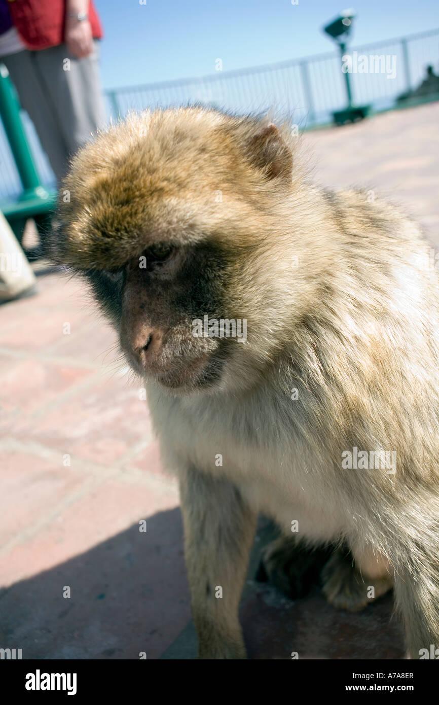 Gibraltar ape, Gibraltar, Europe, - Stock Image