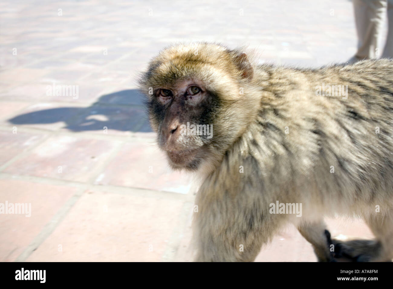 Gibraltar ape with cheeky face, Gibraltar, Europe, - Stock Image