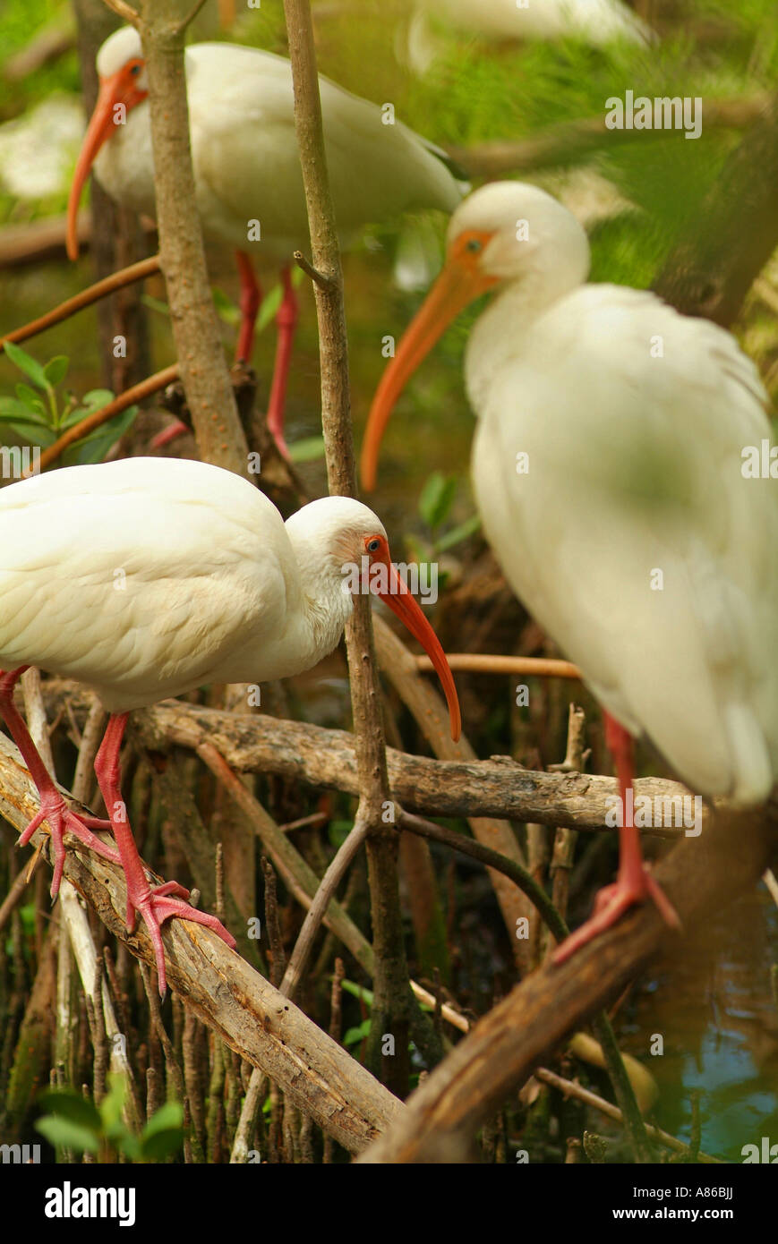 The Florida Keys Wild Bird Center attracts many varieties of wild shore birds including the white ibis Stock Photo