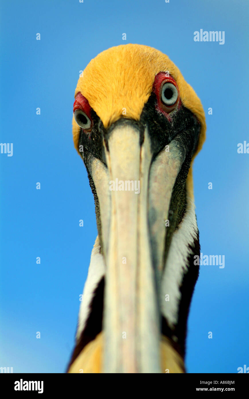 The Florida Keys Wild Bird Center attracts many varieties of wild shore birds including the white ibis Brown Pelican Stock Photo
