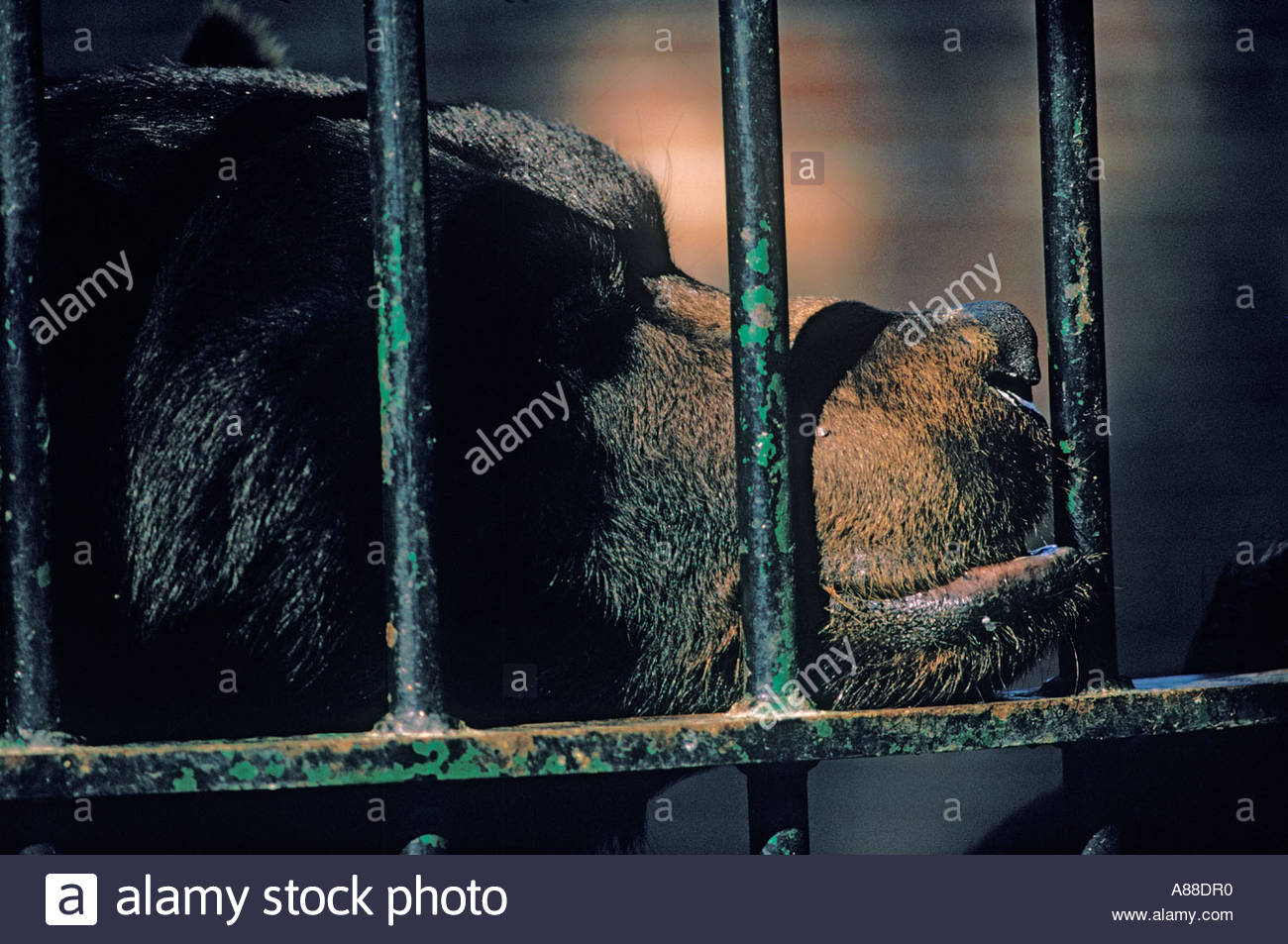grizzly-bear-in-a-cage-in-an-old-fashion