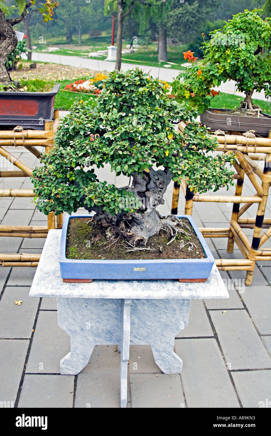 CHINA BEIJING Display of ancient Bonsai trees in the center of Jingshan Park Stock Photo