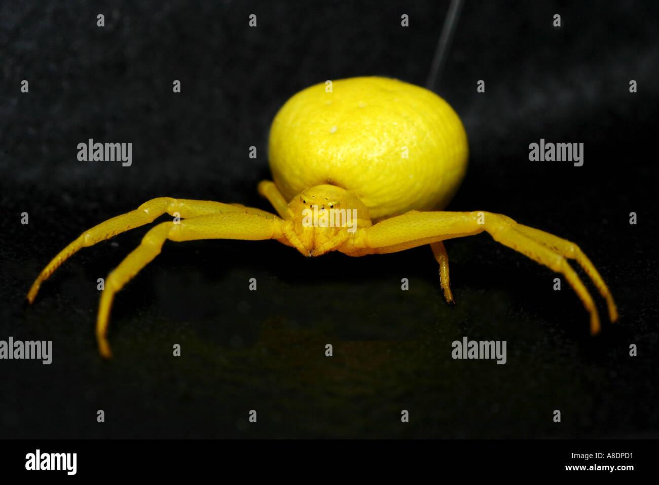 Yellow Goldenrod crab spider, Misumena vatia Stock Photo