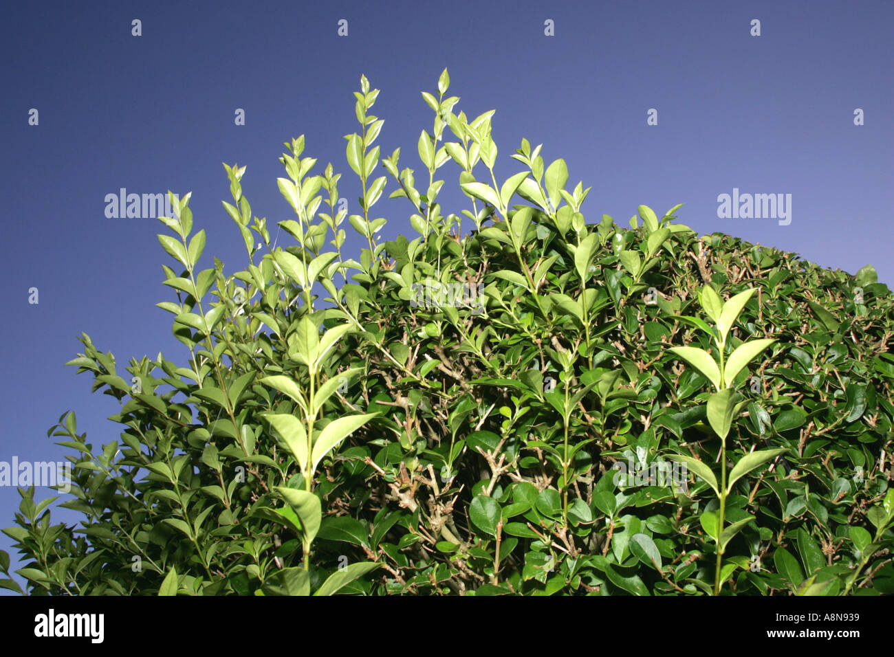 Privet hedge in need of cutting Stock Photo