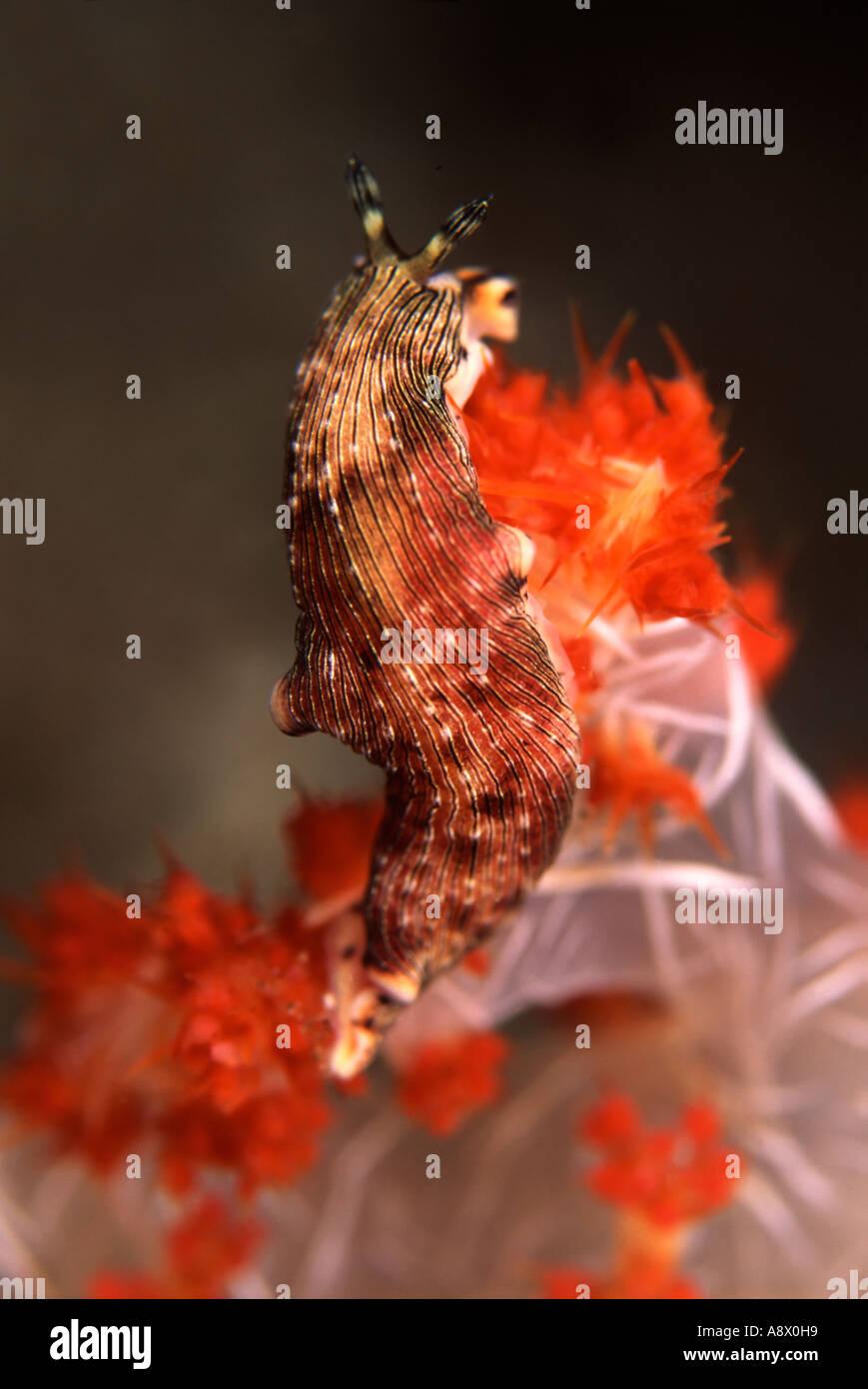 Armina sp. - Stock Image