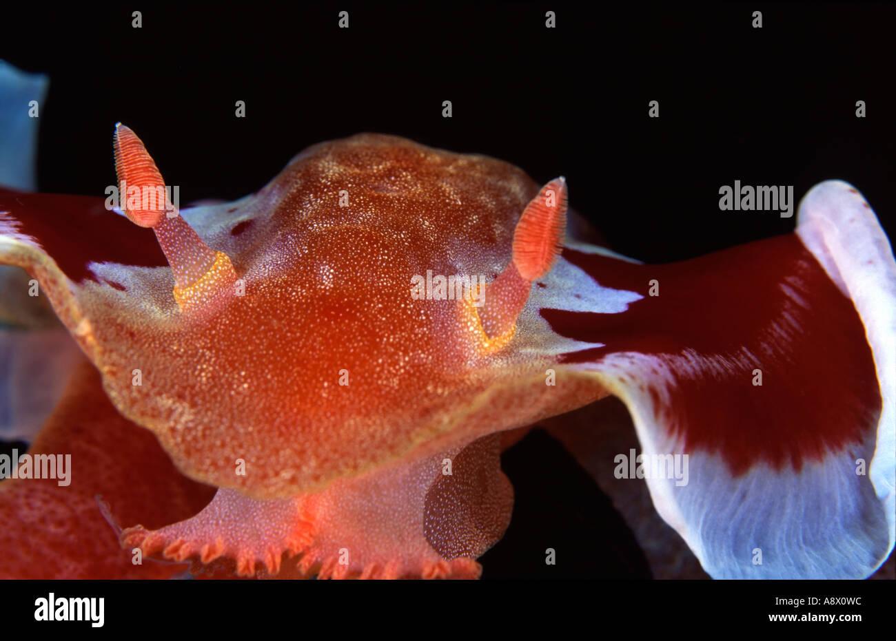 Spanish Dancer Hexabranchus sanguineus - Stock Image