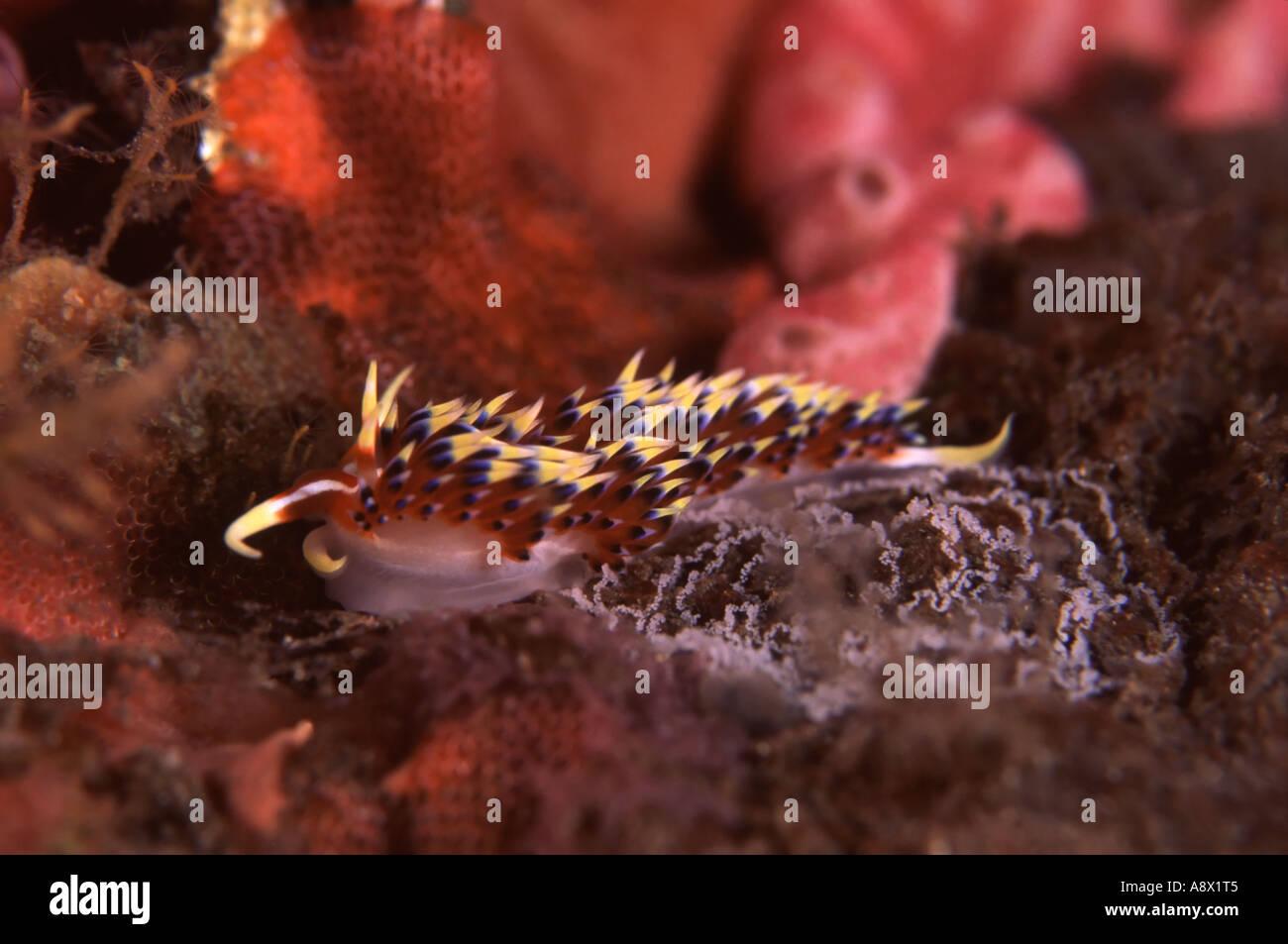 Phidiana sp. - Stock Image