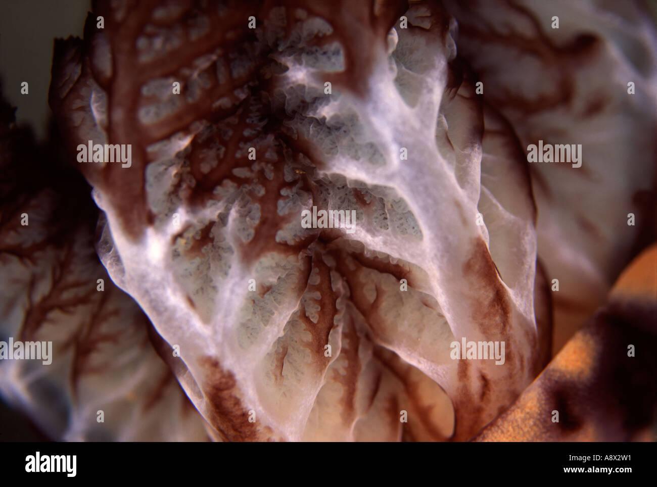 Kentrodoris rubescens Gills - Stock Image