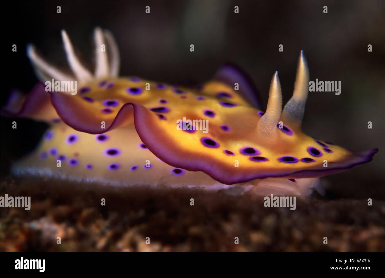 Chromodoris kunei - Stock Image