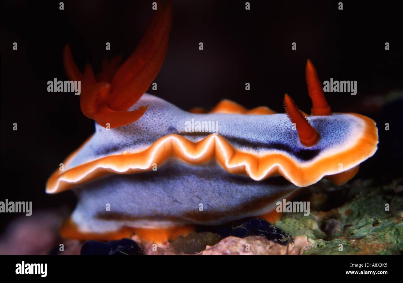 Chromodoris sp. - Stock Image