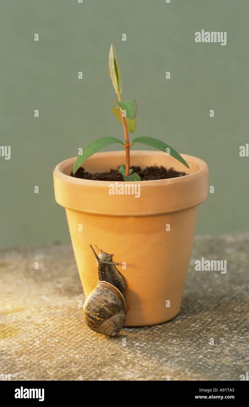 Snail on flowerpot - Stock Image