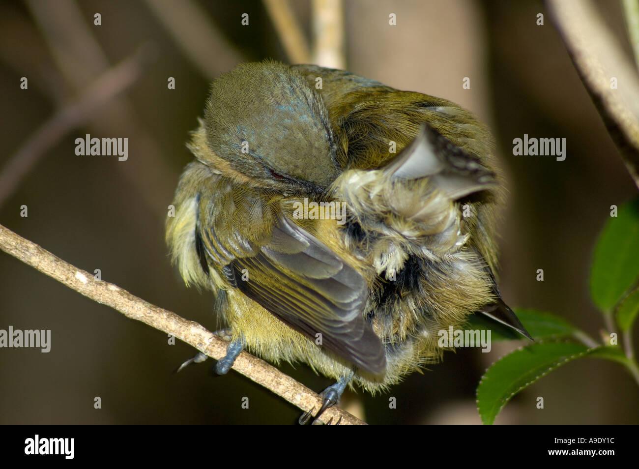 Female stitch bird preening Notiomystis cincta Tiritiri Matangi Isand New Zealand - Stock Image