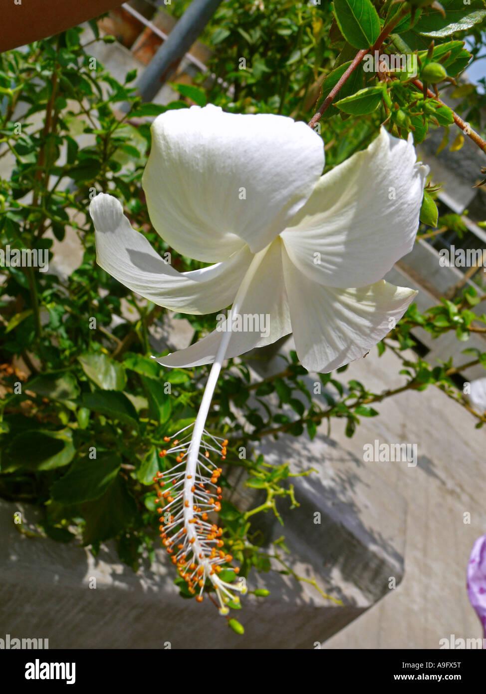Petals anther filament stigma style sepal receptacle parts of petals anther filament stigma style sepal receptacle parts of a white hibiscus rosa sinensis flower pune india izmirmasajfo Choice Image