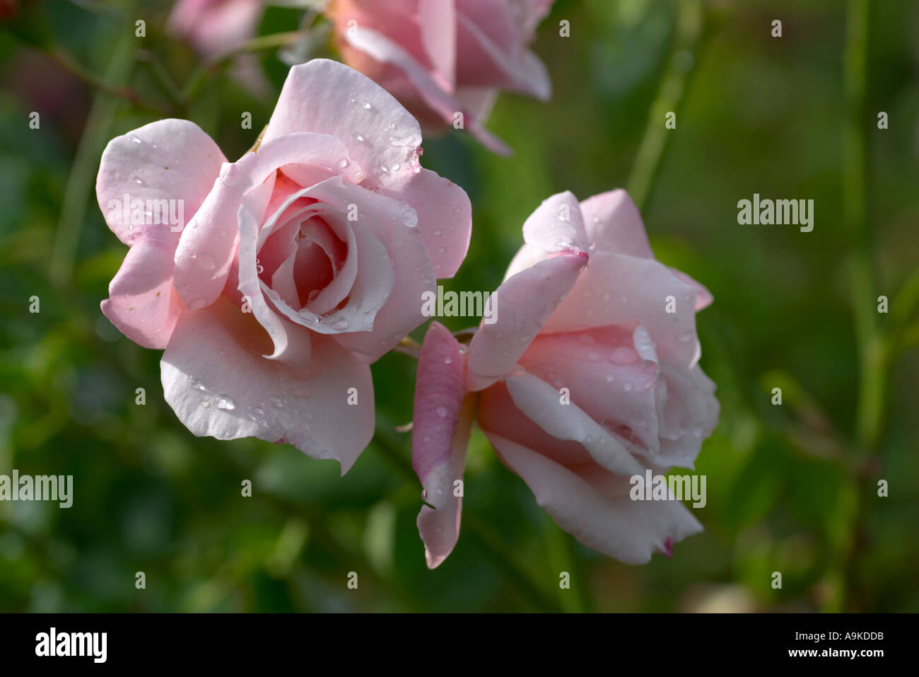 Rosa The Honourable Lady Lindsay - Stock Image