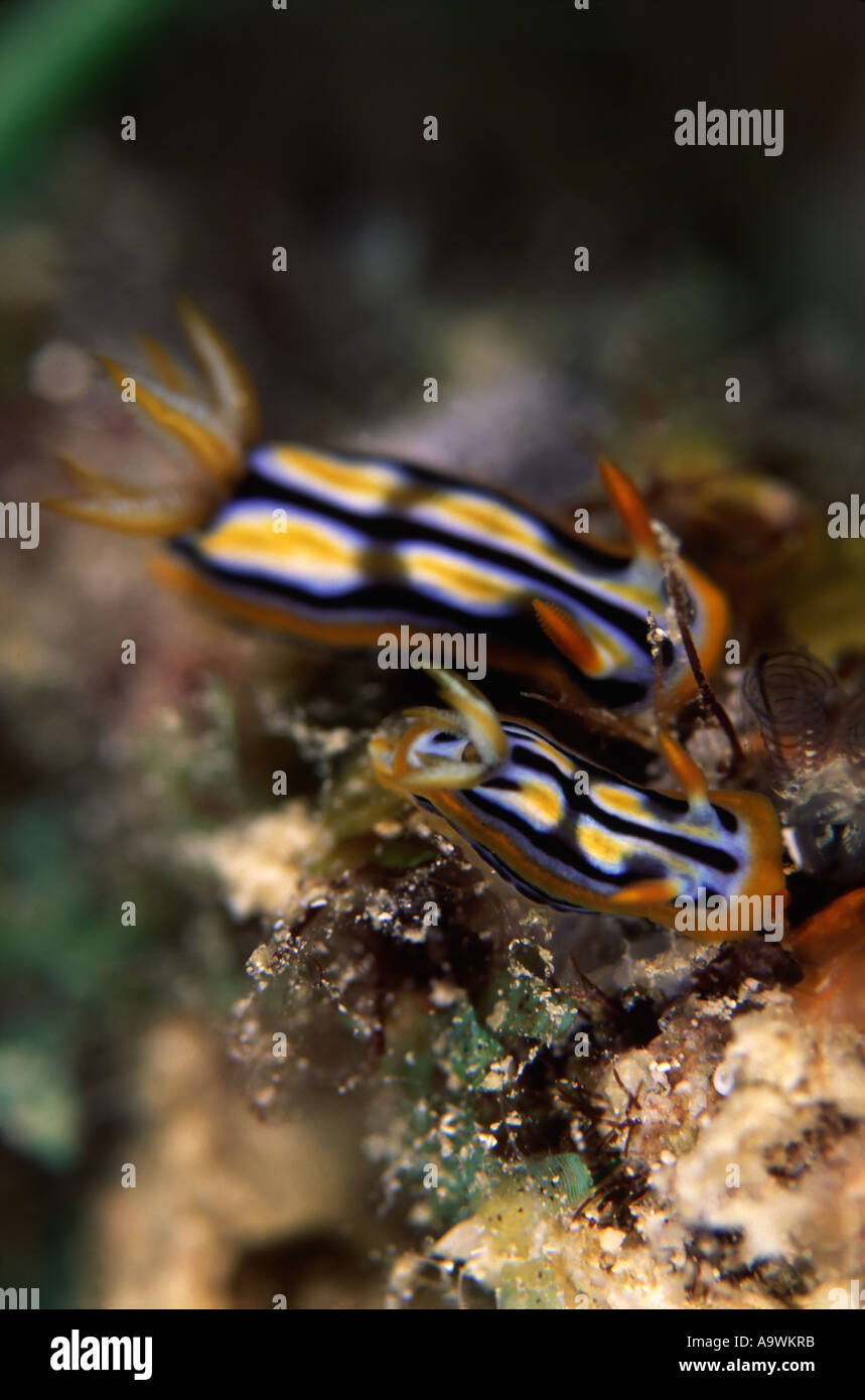 Chromodoris strigata - Stock Image