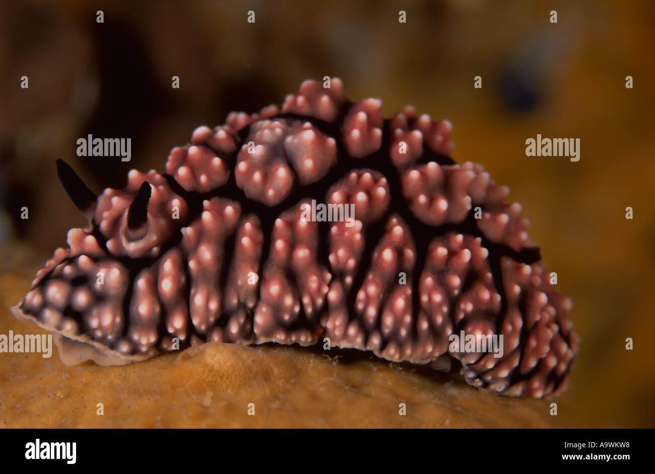 Phyllidiella fissurata - Stock Image