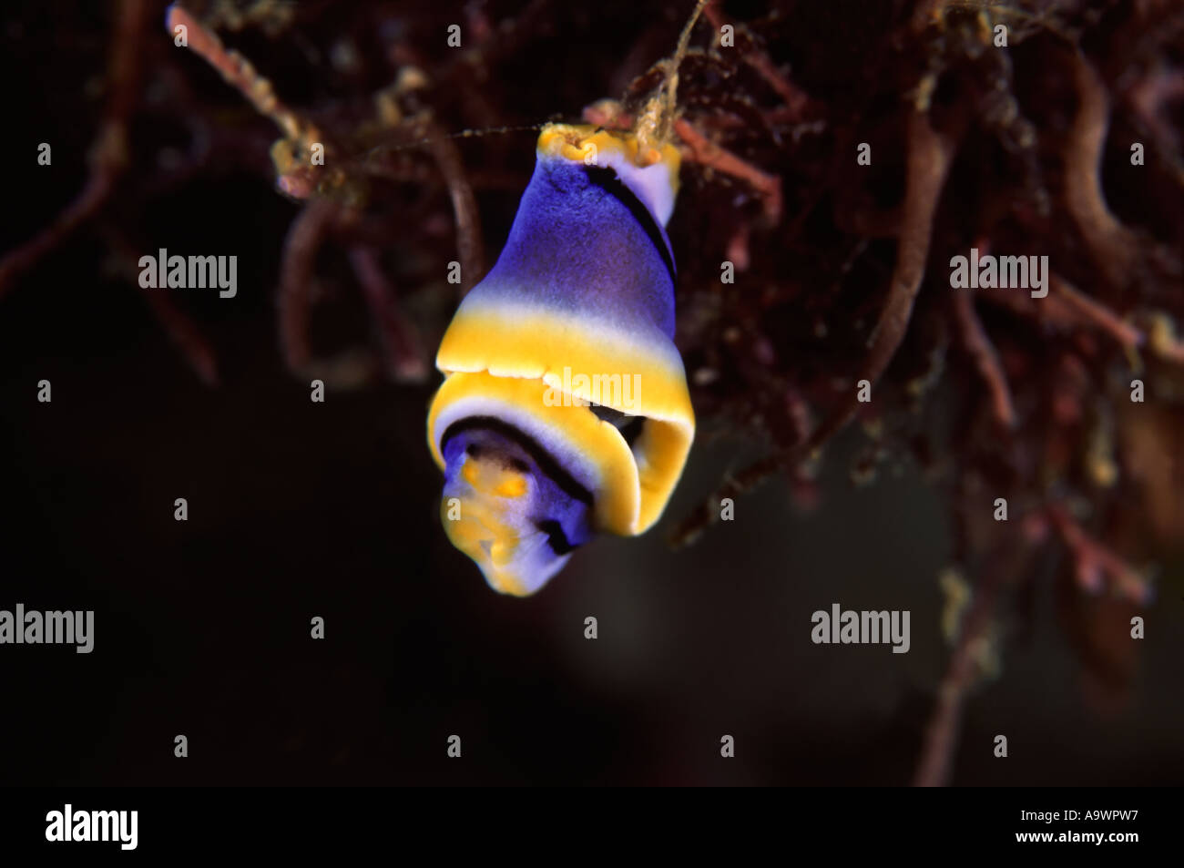 Chromodoris elizabethina - Stock Image