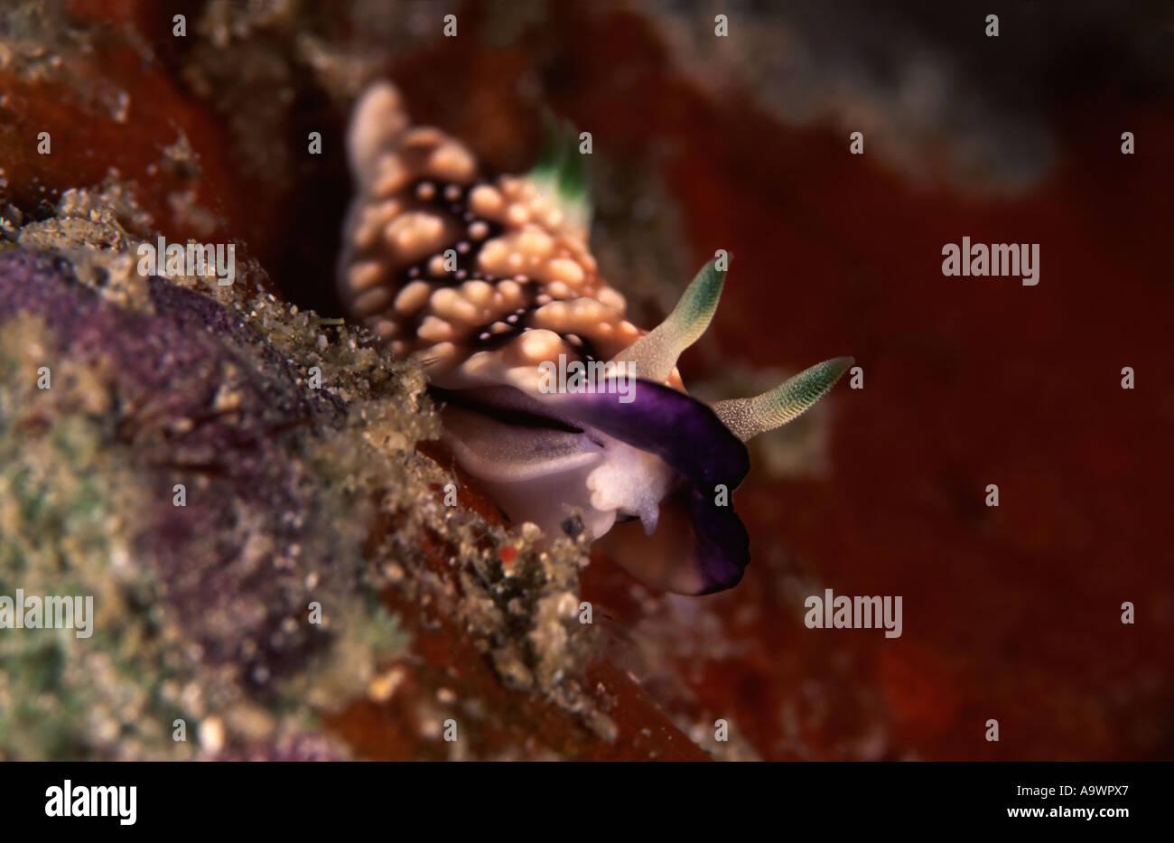 Chromodoris geometrica - Stock Image