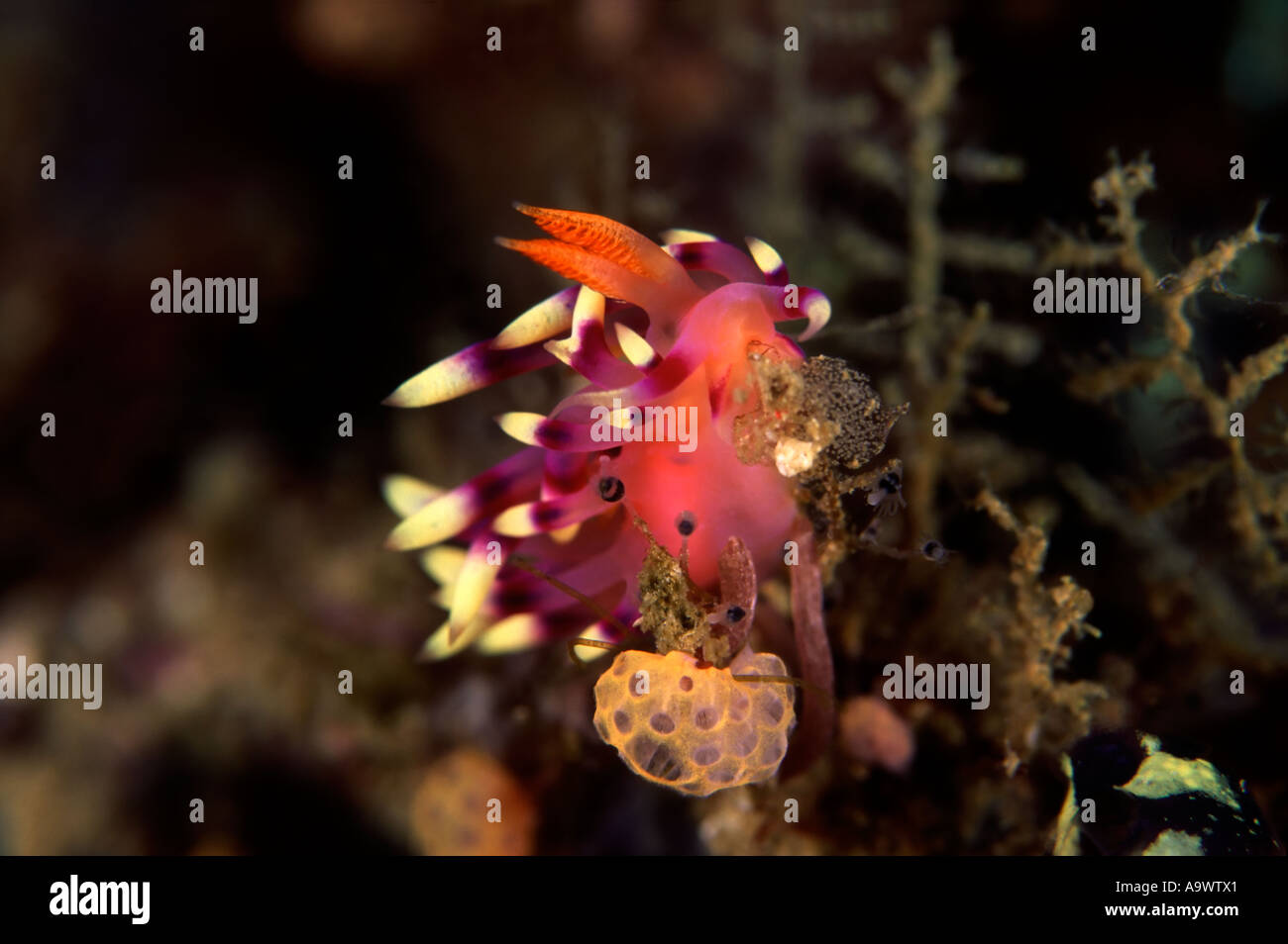 Feeding Flabellina exoptata - Stock Image