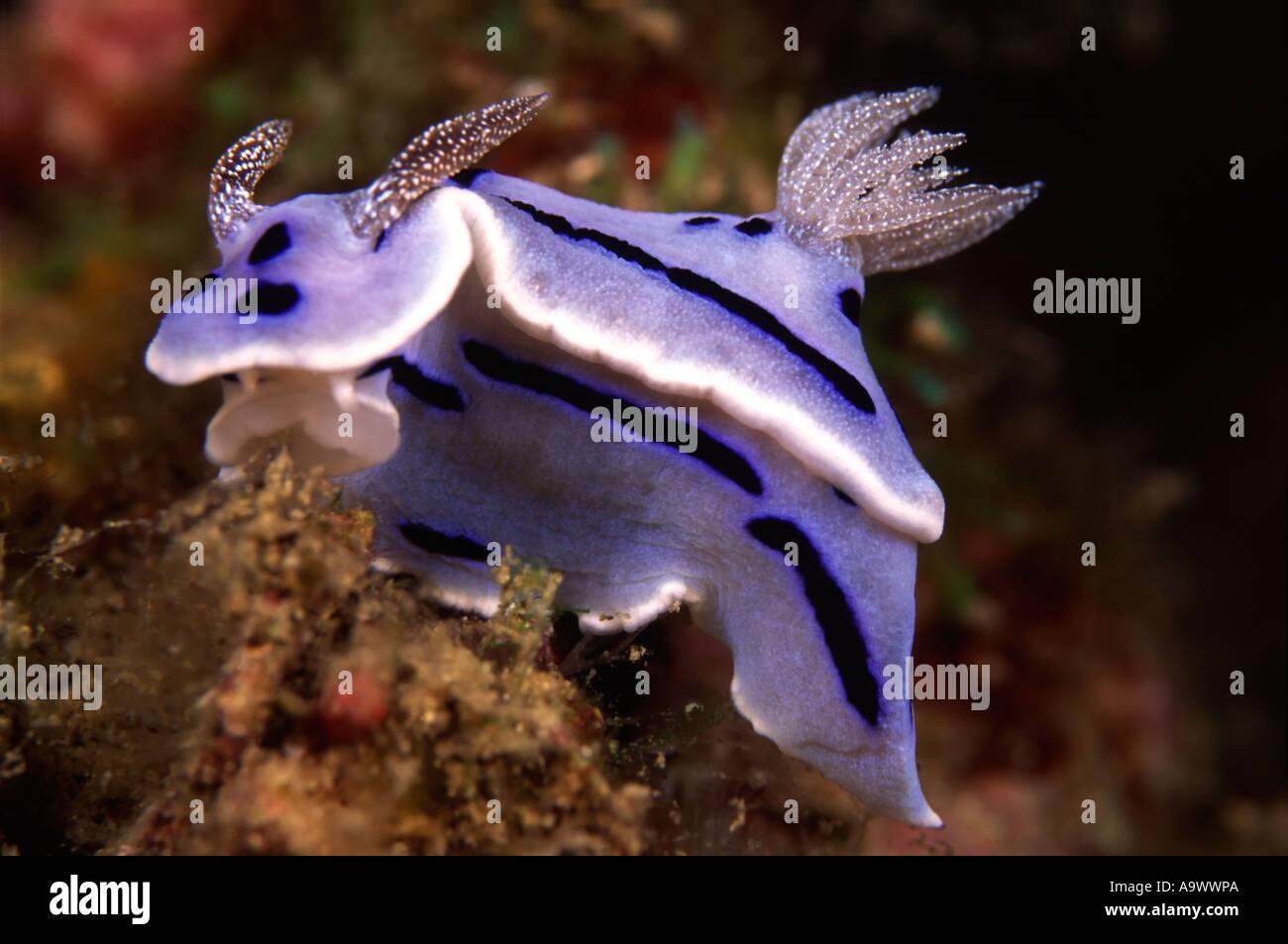 Chromodoris willani - Stock Image