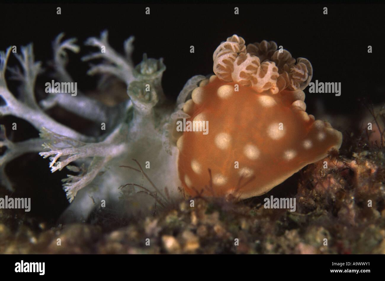 Marionia sp. Feeding on Gymnodoris sp. - Stock Image