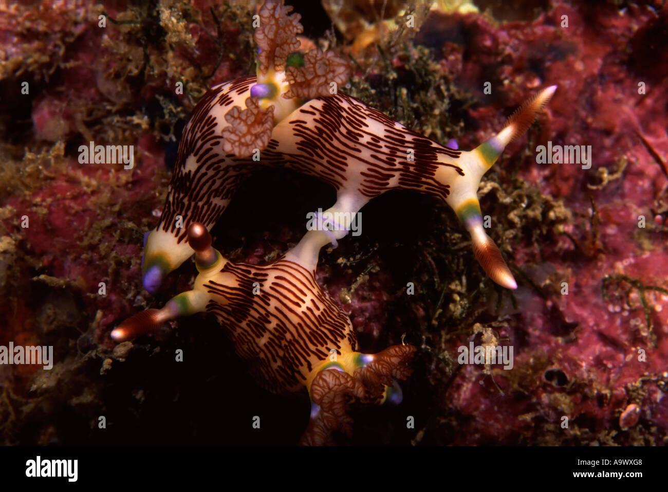 Mating Nembrotha lineolata - Stock Image