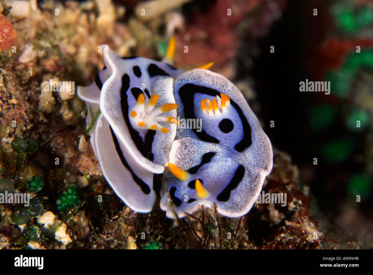 Chromodoris dianae - Stock Image