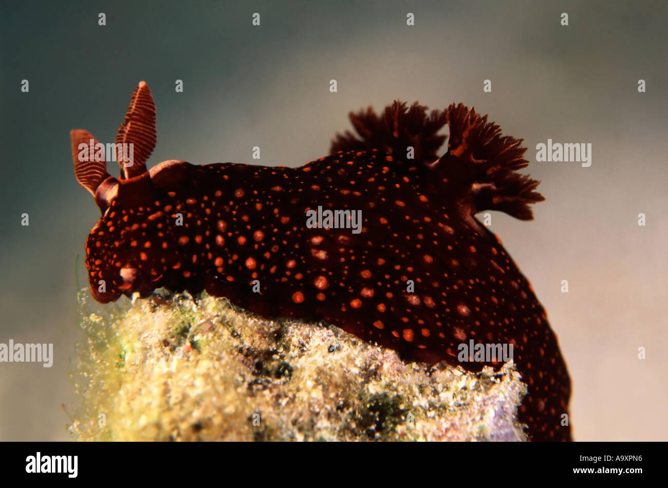 Nembrotha sp. - Stock Image