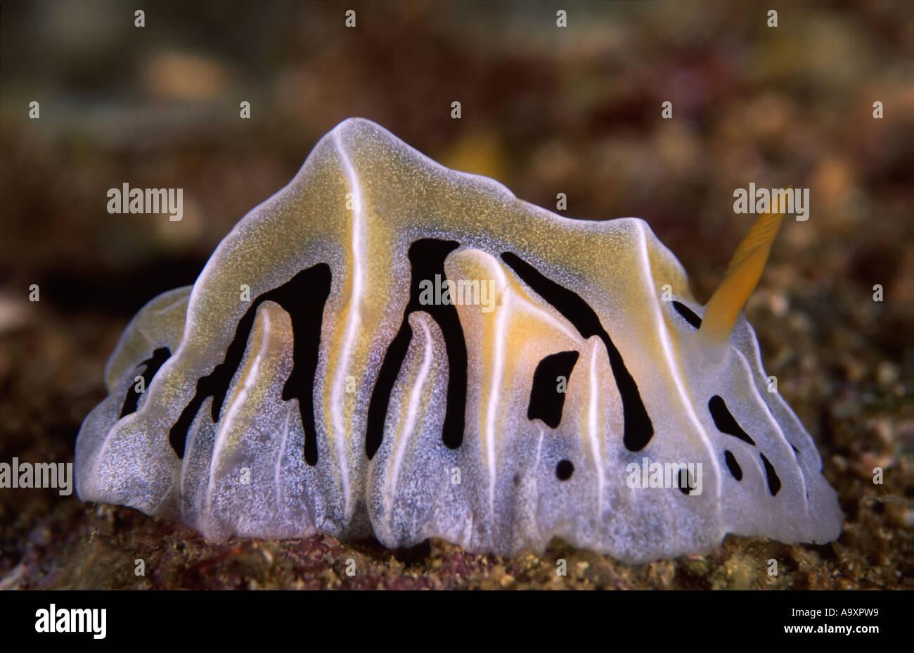 Reticulidia sp - Stock Image
