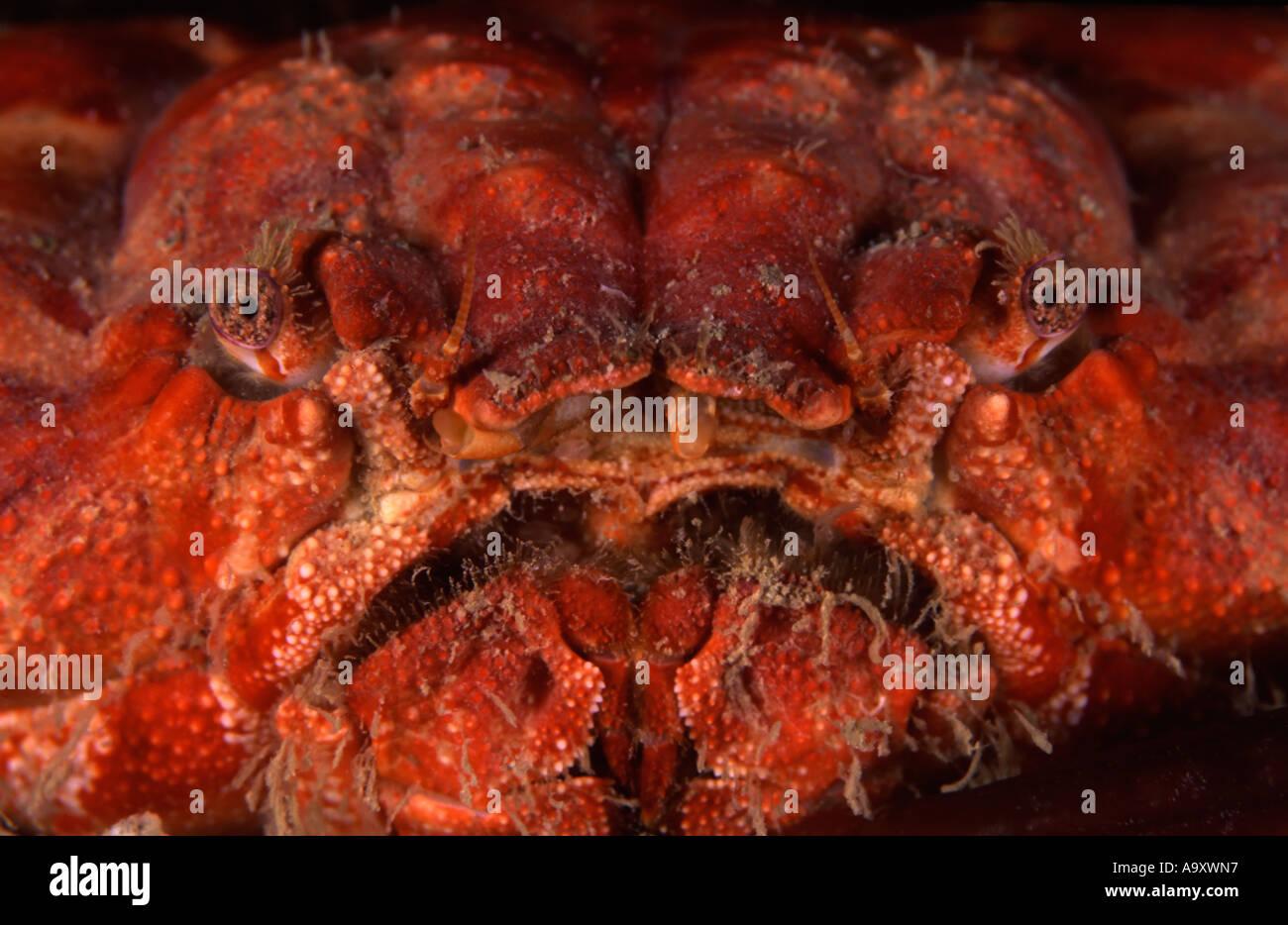 Round Crab - Stock Image