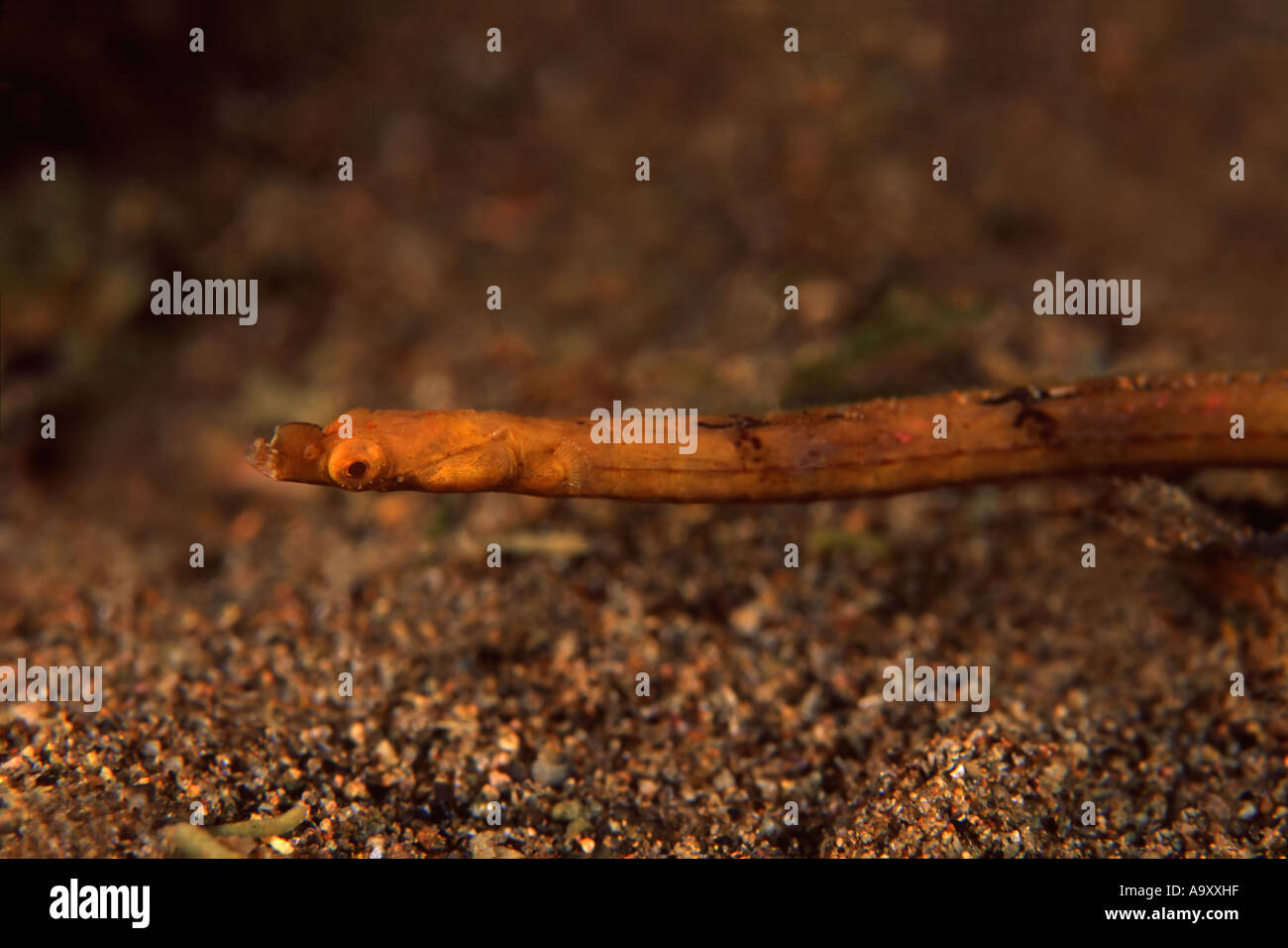 Spiny Snout Pipefish - Stock Image