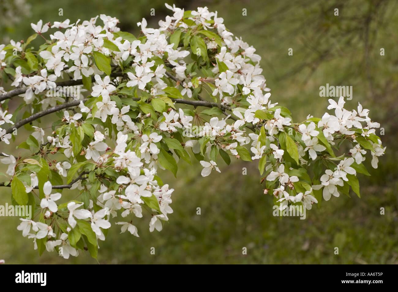 Spring White Flowers On The Branch Of Japanese Flowering Crabapple