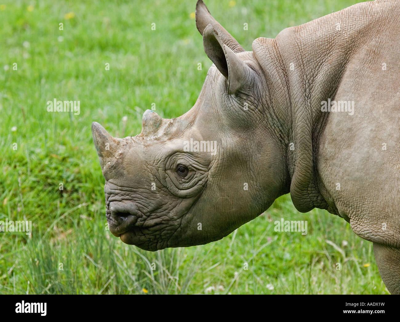 Black Rhinoceros (cap) - Stock Image
