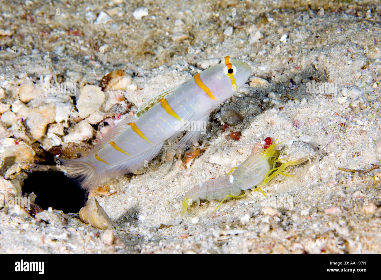 randalls-shrimpgoby-amblyeleotris-randalli-and-white-lined-snapping-AAH97N.jpg