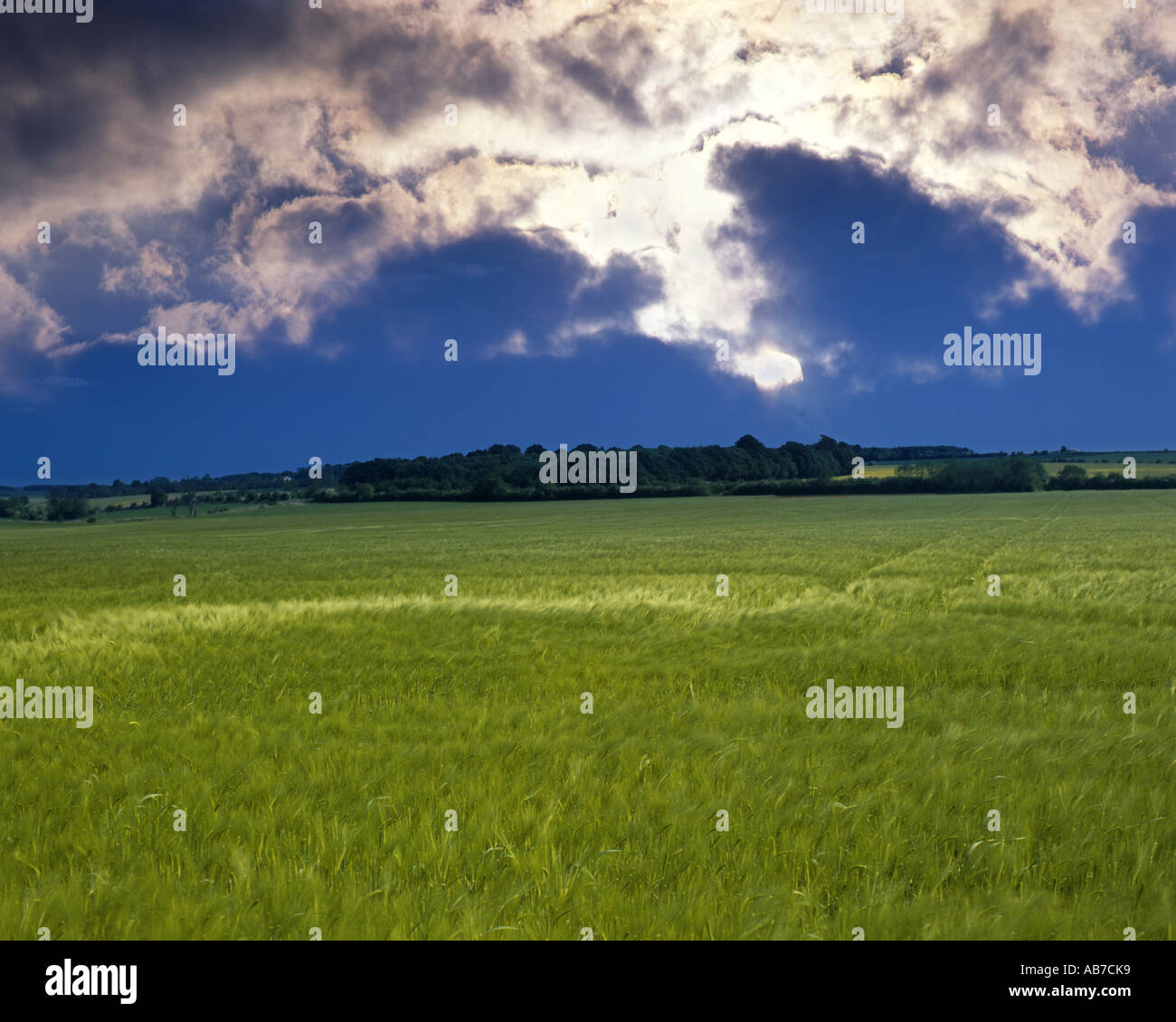 GB - GLOUCESTERSHIRE:  Barley Field in the Cotswolds - Stock Image