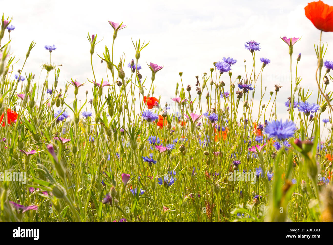 wildflower-meadow-poppies-cornflower-and